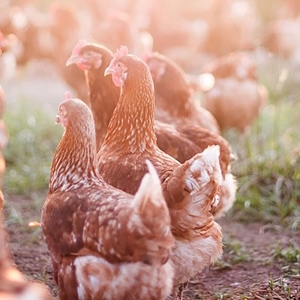 Hy-Line Brown Pullets<br>Certified Organic