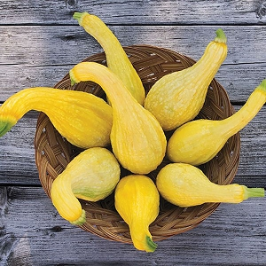 Yellow Crookneck Summer Squash Seeds